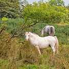Garron Horses by M.S. Photography/Art