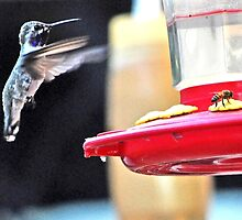 WHITE EARED HUMMINGBIRD AND THE BEE by JAYMILO