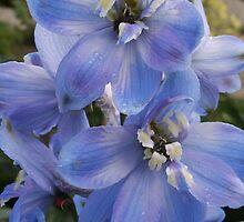 Blue Delphinium by Sandra Foster