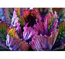 Ornamental Cabbage Rainbow Photographic Print