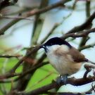 Black cap in the branches by missmoneypenny