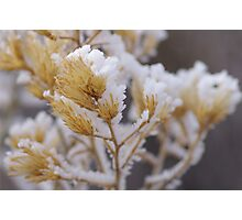 Snowy Sage Brush Photographic Print