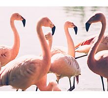 Pink Flamingo Flock Photographic Print