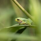 Cope's Gray Treefrog by Thomas Young