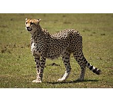 Beautiful Cheetah Photographic Print