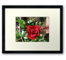 Sympathy rose and ten buds Framed Print