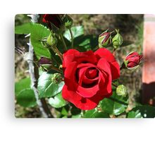 Sympathy rose and ten buds Canvas Print