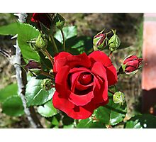 Sympathy rose and ten buds Photographic Print