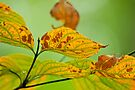 Touched By Autumn by NatureGreeting Cards ©ccwri