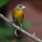 Scarlet-rumped Tanager (female) by hummingbirds