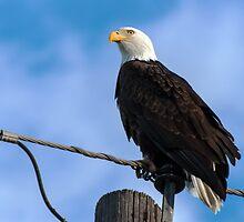Bald Eagle on pole by Eivor Kuchta
