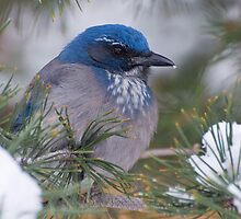 Western Scrub-Jay with snow on its beak by Eivor Kuchta
