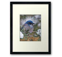 Western Scrub-Jay with snow on its beak Framed Print