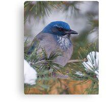 Western Scrub-Jay with snow on its beak Canvas Print