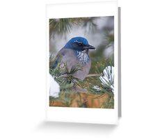 Western Scrub-Jay with snow on its beak Greeting Card