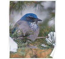 Western Scrub-Jay with snow on its beak Poster