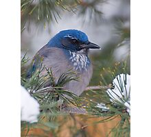 Western Scrub-Jay with snow on its beak Photographic Print