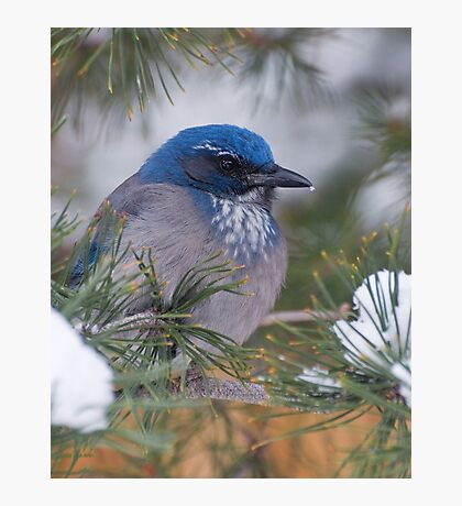 Western Scrub-Jay with snow on its beak Photographic Print