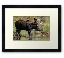 Splashing Moose Framed Print
