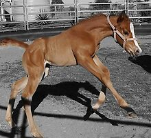 8 day old foal  by Susanne Schmitz