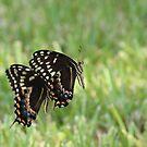 Black Swallowtail Butterflies by Bob Hardy