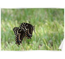 Black Swallowtail Butterflies Poster