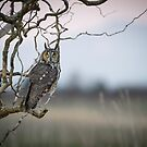 Hunting Imminent -- Long-eared Owl by Tom Talbott