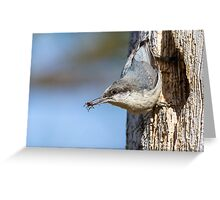 Aromatic Meal -- Pygmy Nuthatch with Stink Bug Greeting Card