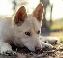Zahra a 4 month old Alpine Dingo Pup by dPphodography