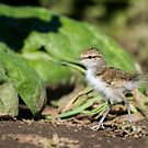 Lively Ball of Fluff -- Spotted Sandpiper Chick by Tom Talbott