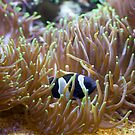 Black Clown Fish by Diego  Re
