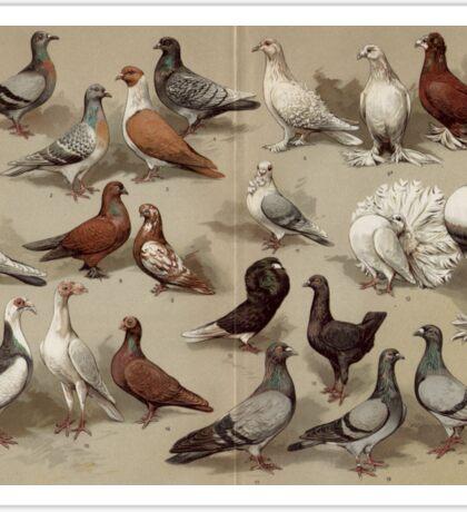 Vintage Pigeon Breeds Chart Sticker