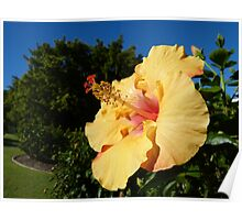 Hibiscus on a nice winters day Poster