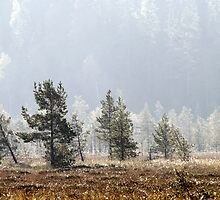 18.9.2014: Pine Trees, Autumn Morning by Petri Volanen