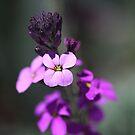 Purple Wish by Joy Watson