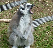 The anger of the Ring-Tailed Lemur - Monkey World, Dorset  by waynebolton