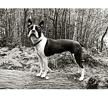 Meryl the Boston Terrier Photographic Print