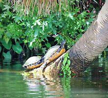 Terrapins  by SoftHope