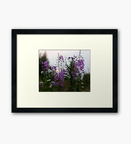 Willow-herb Framed Print