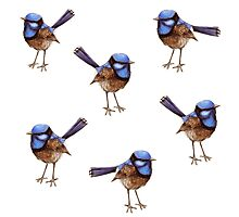 Blue Wrens, Russet and White Photographic Print