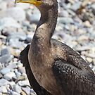 Double Crested Cormorant by Heather Crough