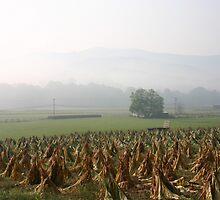 Burley tobacco in the Field by Annlynn Ward