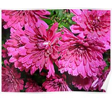 Chrysanthemums on a Damp Autumn Morning Poster