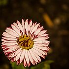 111516 Purple Aster by pcfyi