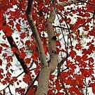 Maple by Eileen McVey