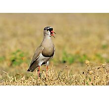 Plover Talk - Funny Nature and Entertaining Wildlife Photographic Print