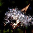 Milkweed by Rick Gold