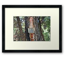Pine resin collection on Alonissos Framed Print