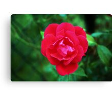 Pink Fall Rose Canvas Print