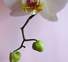 WHITE ORCHID by Colleen2012